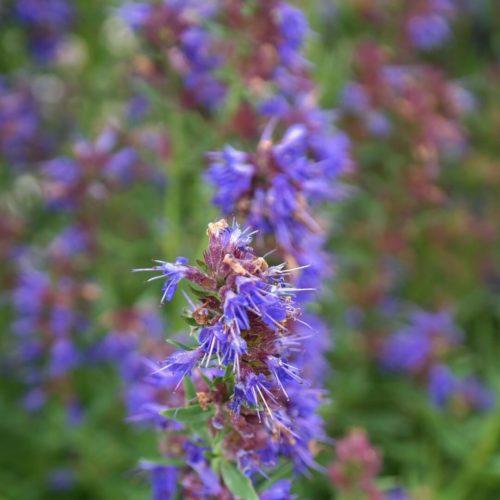 Hyssopus officinalis, una planta para el asma altamente antioxidante