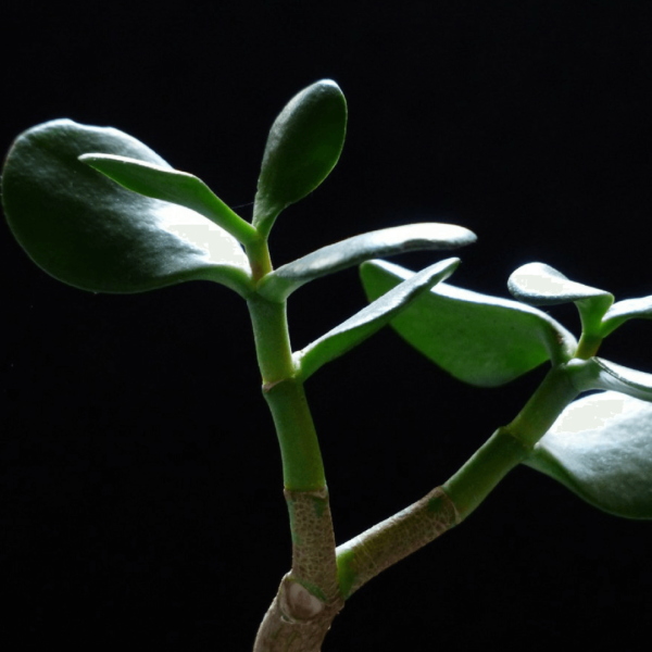 Cómo utilizar las propiedades mágicas del jade verde